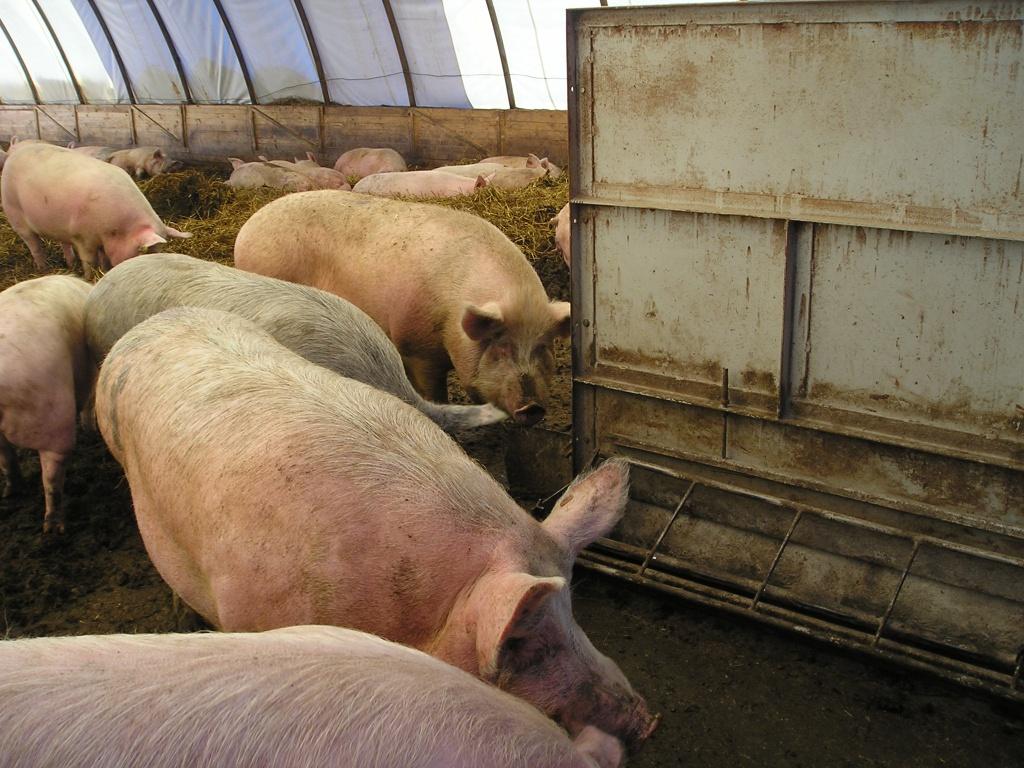 Разведение свиней в домашних условиях смотреть