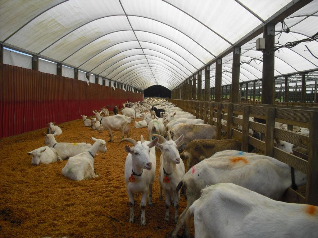 Разведения коз в домашних условиях