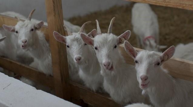 ферма козы.jpg