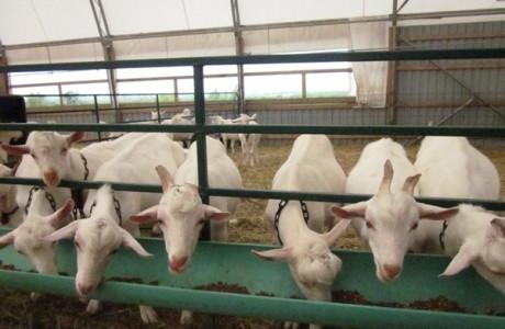 ферма для коз.jpeg